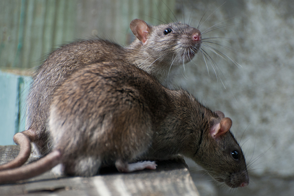 inverno-e-os-ratos