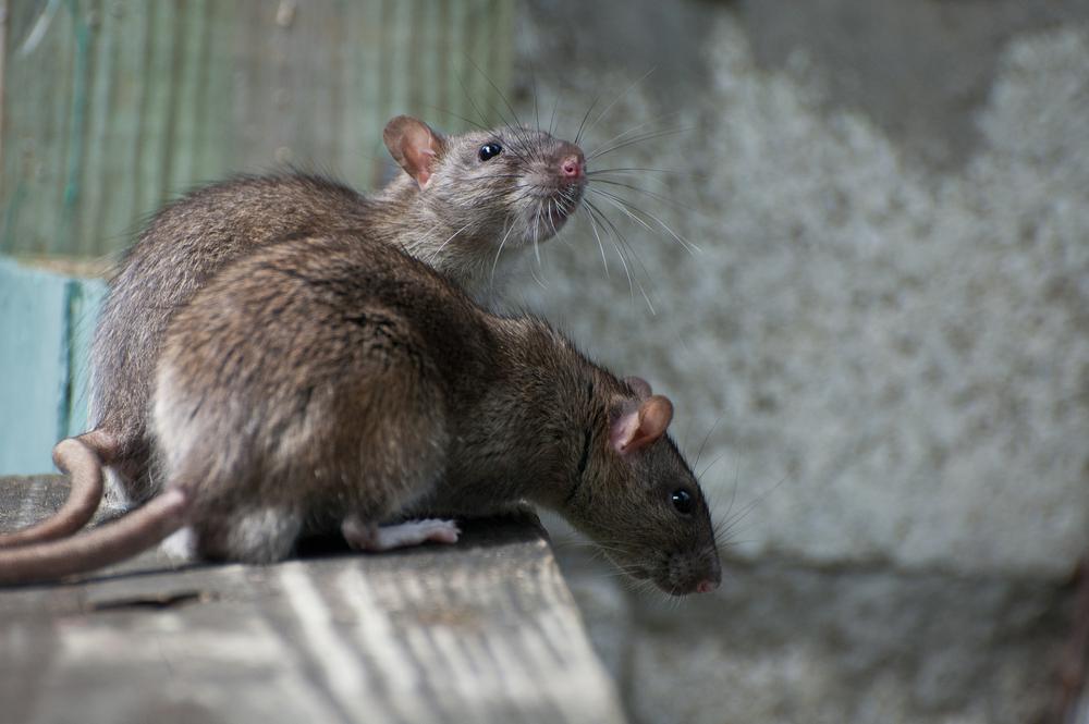 ratos e o inverno