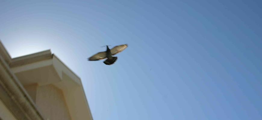 pombos-controle-de-pragas-telhado-telhado
